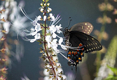 Floral Digital Art Digital Art Digital Art - Black Swallowtail On Cats Whiskers by Suzanne Gaff