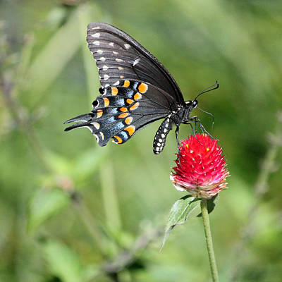 Blue Swallowtail Photograph - Black Swallowtail On Red Flower by Suzanne Gaff