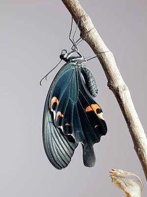 Photograph - Black Swallowtail by Polotan