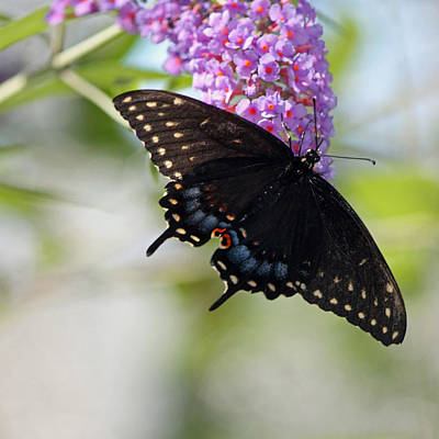 Blue Swallowtail Photograph - Black Swallowtail Squared by Suzanne Gaff