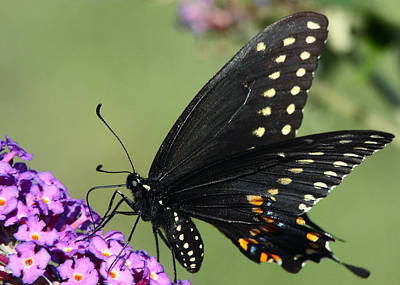 Black Swallowtail Art Print by Theo