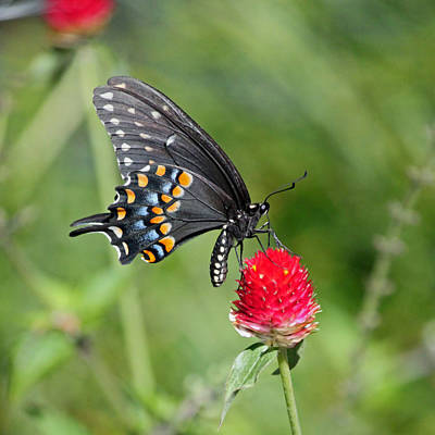 Blue Swallowtail Photograph - Black Swallowtail Up Close by Suzanne Gaff