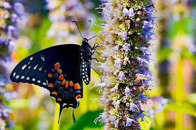 Photograph - Black Swallowtail by William Jobes