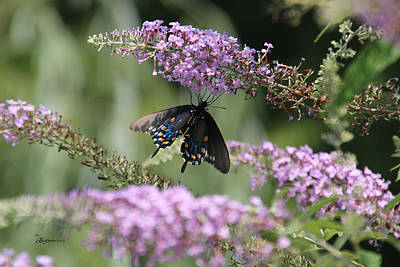 Black Swallowtail1-featured In Newbies-nature Wildlife- Digital Veil-comfortable Art Groups Groups Art Print by EricaMaxine  Price