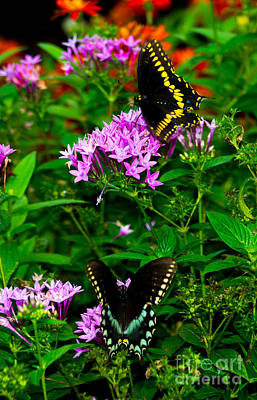 Photograph - Black Swallowtails by Angela DeFrias