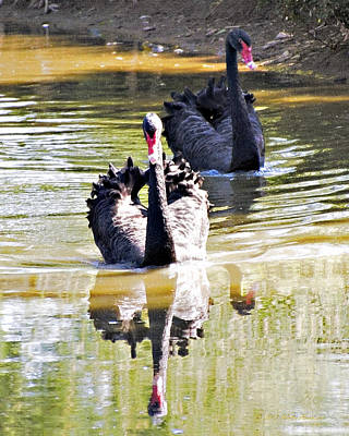 Photograph - Black Swan 1 by Walter Herrit