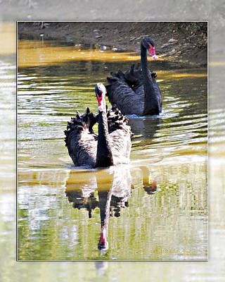 Photograph - Black Swan 2 by Walter Herrit