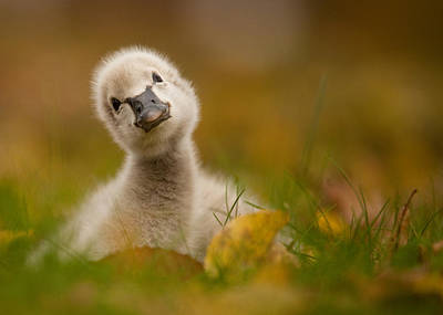Czech Republic Photograph - Black Swan Baby by Robert Adamec