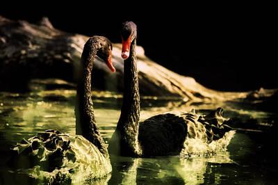 Black Swan Art Print by Diane Dugas
