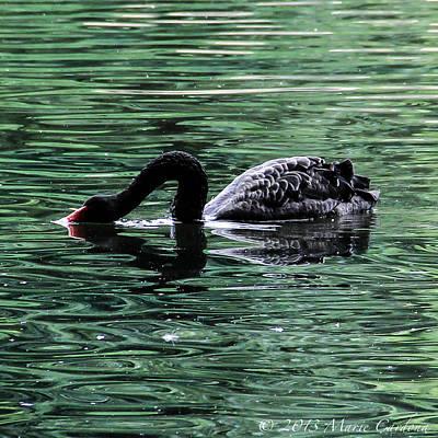 Black Swan II Art Print by Marie  Cardona