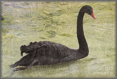 Art Print featuring the photograph Black Swan by Kathie Chicoine