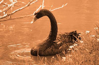 Art Print featuring the photograph Black Swan by Leticia Latocki