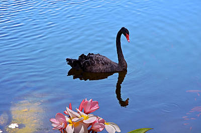 Photograph - Black Swan by Marie Hicks