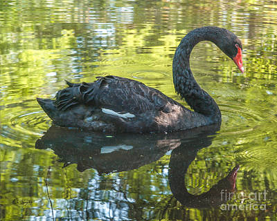 Photograph - Black Swan by Mike Covington