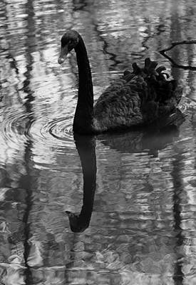 Photograph - Black Swan Series Iv - Black And White by Suzanne Gaff