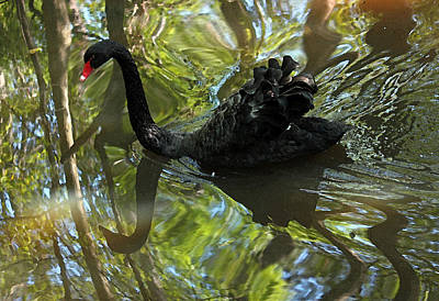 Black Swan Series V  Original