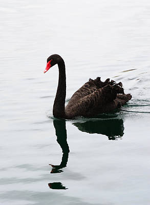 Photograph - Black Swan by Songquan Deng
