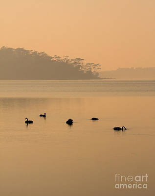 Swans Photograph - Black Swan Sunrise by Mike  Dawson