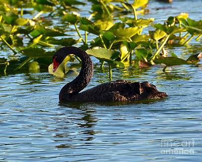 Photograph - Black Swan Swimming by Carol  Bradley