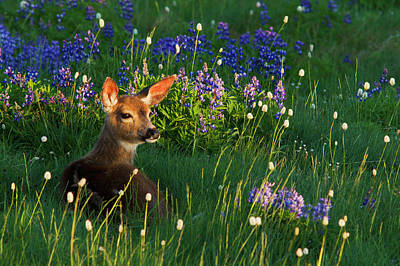 Fawn Photograph - Black-tail Deer Fawn, Alpine Wildflowers by Ken Archer