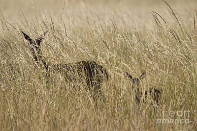 Photograph - Black-tailed Deer by Dan Suzio