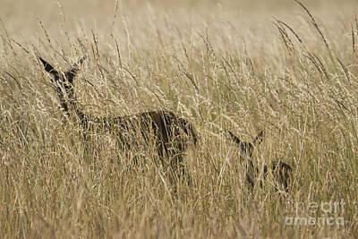 Photograph - Black-tailed Deer by Dan Suzio