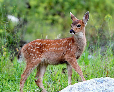 Photograph - Black-tailed Deer Fawn by Peggy Collins