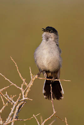 Starr Photograph - Black-tailed Gnatcatcher (polioptila by Larry Ditto