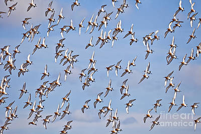 Migration Photograph - Black-tailed Godwits Limosa Limosa by Liz Leyden