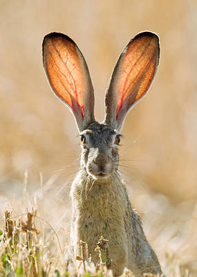 Black-tailed Hare Davis California Art Print