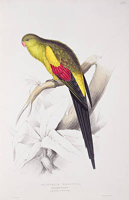 Exotic Drawing - Black Tailed Parakeet by Edward Lear