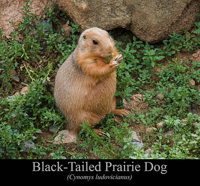Digital Art - Black Tailed Prairie Dog by Chris Flees