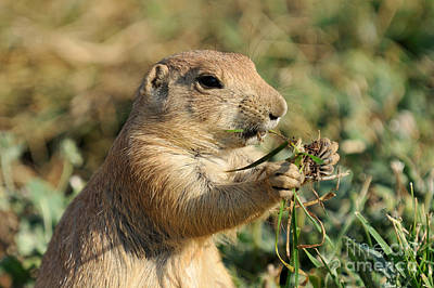 Zoological Photograph - Black-tailed Prairie Dog by George Atsametakis