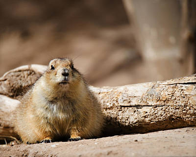 Photograph - Black-tailed Prairie Dog_a by Walter Herrit