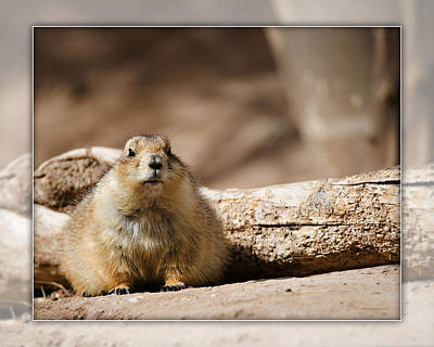 Photograph - Black-tailed Prairie Dog_a2 by Walter Herrit