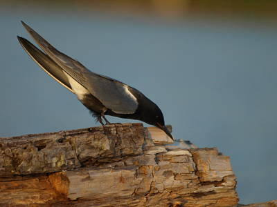Peterson Nature Photograph - Black Tern Fishing by James Peterson