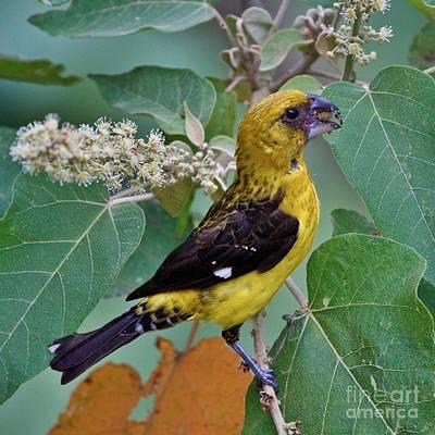 Birds Photograph - Black-thighed Grosbeak by Heiko Koehrer-Wagner