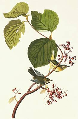 Black-throated Blue Warbler Art Print by Natural History Museum, London/science Photo Library
