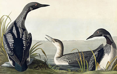 Loon Painting - Black Throated Diver  by John James Audubon