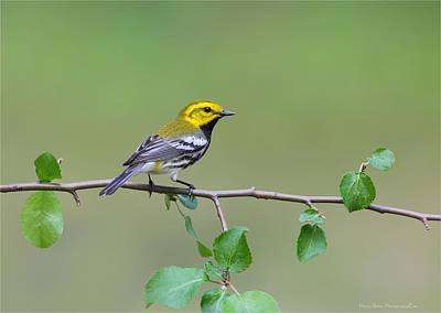 Photograph - Black Throated Green Warbler by Daniel Behm