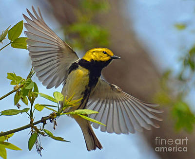 Photograph - Black Throated Green Warbler by Rodney Campbell