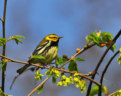 Black-throated Green Warbler Print by Tony Beck