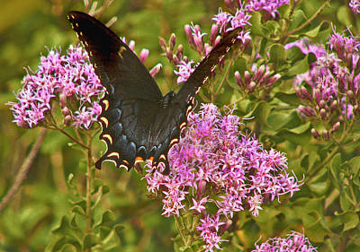 Photograph - Black Tiger Swallowtail Butterfly. by Chris  Kusik