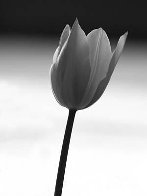 Black Tulip Art Print by Carlos Magalhaes