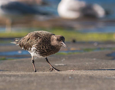 Photograph - Black Turnstone by Dusty Wynne