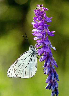 Vetch Photograph - Black-veined White On Narrow-leaved Vetch by Bob Gibbons