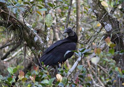 Photograph - Black Vulture Coragyps Atratus by rd Erickson