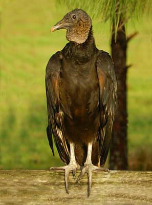 Photograph - Black Vulture by Grace Dillon