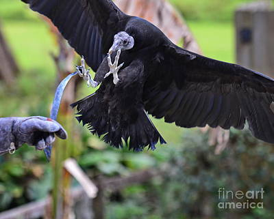 Vulture Photograph - Black Vulture Lands With Outstretched Claws by Wayne Nielsen