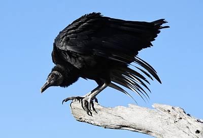 Black Vulture Art Print by Paulette Thomas
